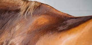 Thermorégulation du cheval